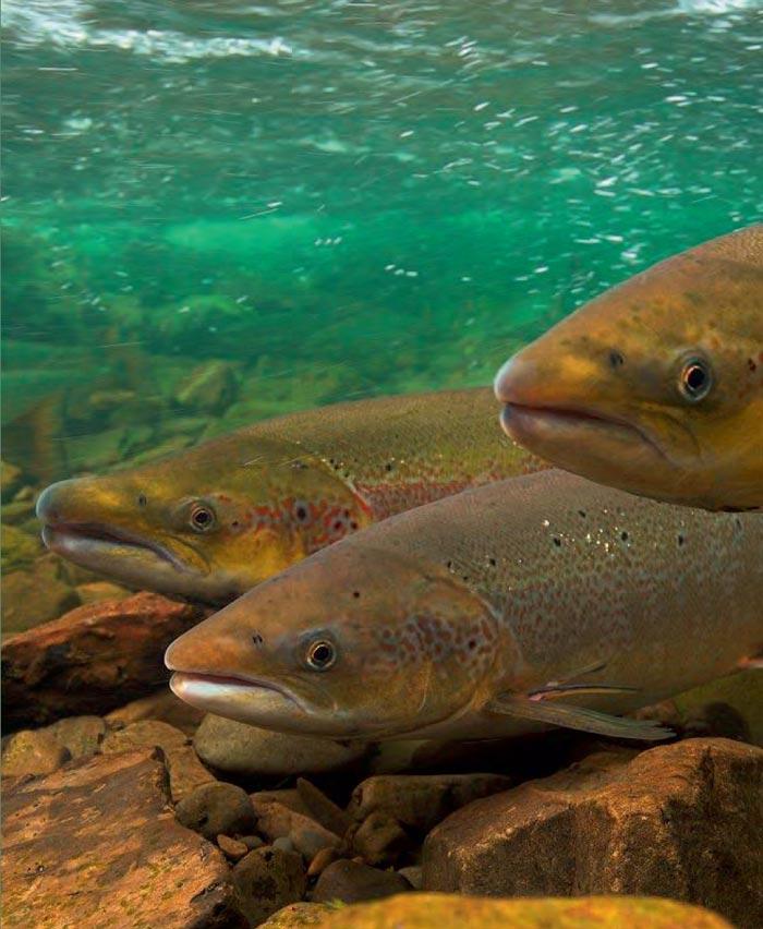 Der Atlantische Lachs - Fisch des Jahres 2019