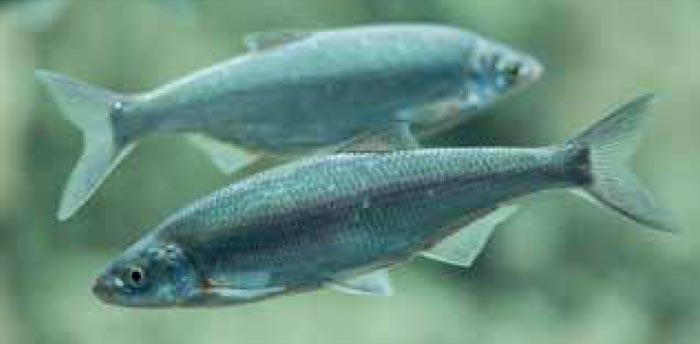 Mairenke - Bayerns Fisch des Jahres 2021