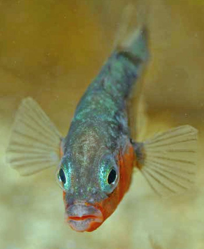 Der Stichling - Fisch des Jahres 2018